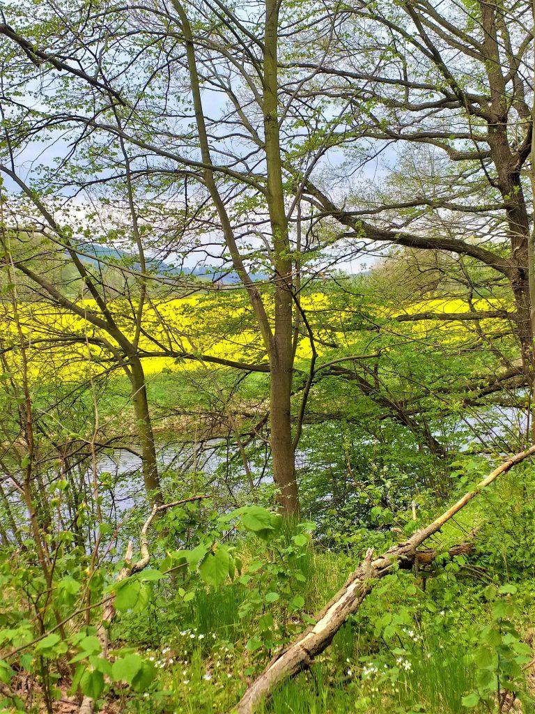 z przodu konary drzew, za nimi żółte pola rzepaku