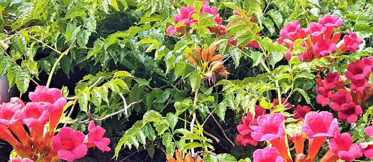 zdjęcie różowych kwiatów ogrodowych